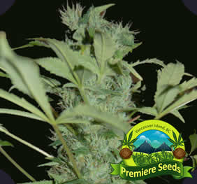 BC God Bud Cannabis Seeds